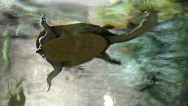 snake necked turtle