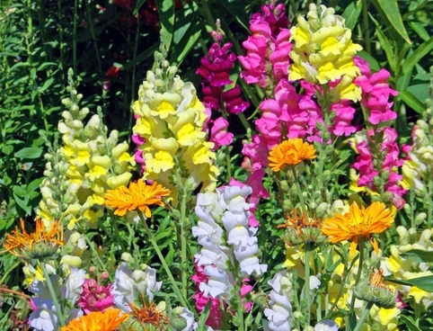 snapdragon flowers bloom