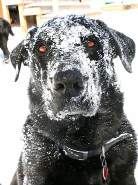 snow dog face