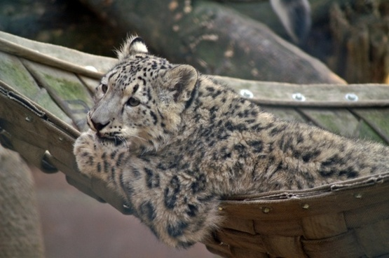 snow leopard cat young animal