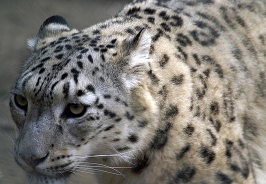 snow leopard close profile