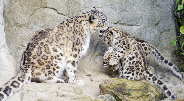 snow leopard multitasking