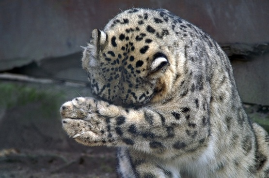 snow leopard paw misery