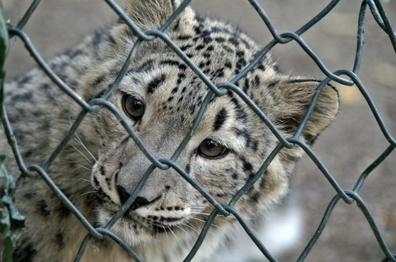 snow leopard young animal grid