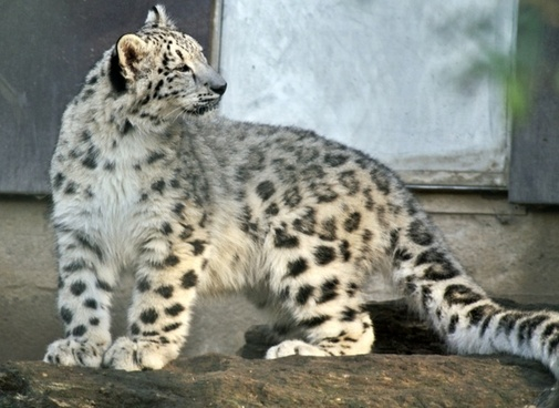 snow leopard young animal snow