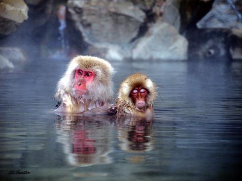 snow monkeys in hot spring japan