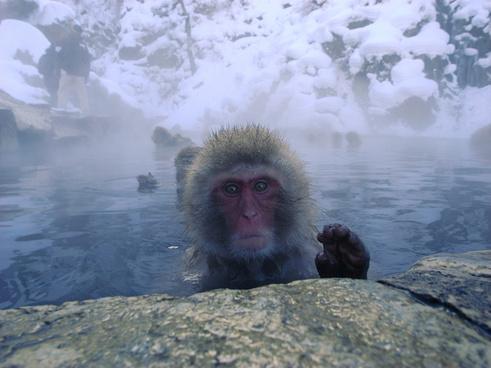 snow monkeys in jigokudani
