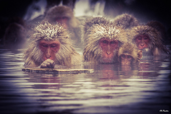 snow monkeys winter
