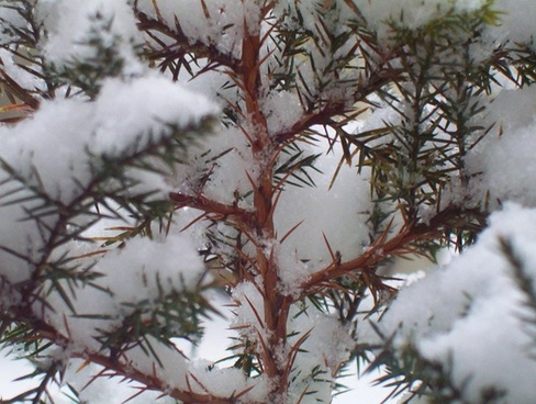 snow on evergreen