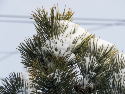 snow on pine leaves