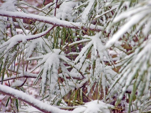 snow on pine needles