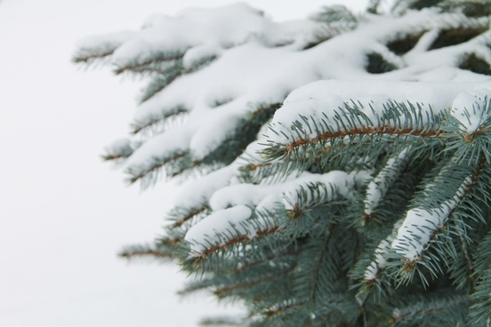 snow on pine tree branches