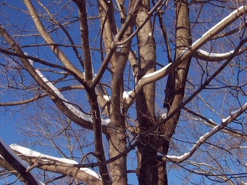 snow on trees with blue sky