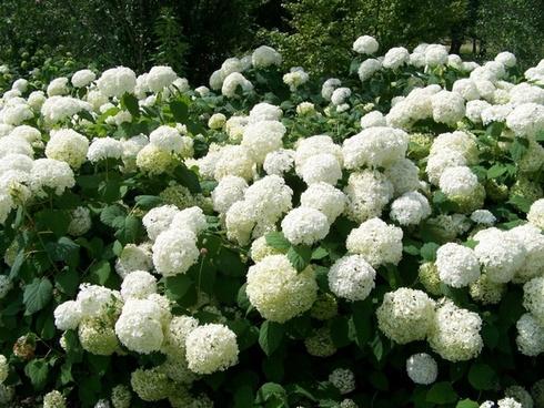 snowball bushes