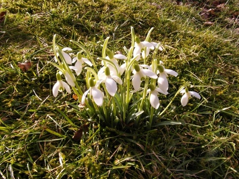 snowdrop spring march
