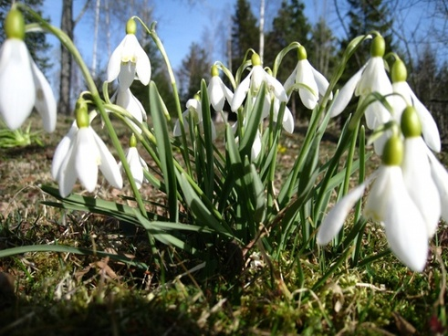 snowdrops our green