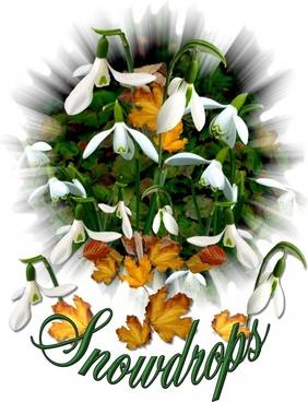 snowdrops white flower spring