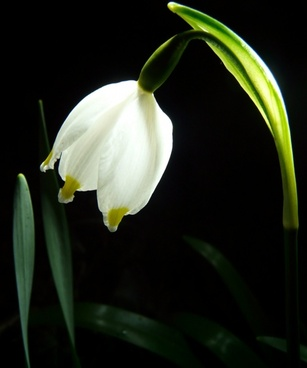 snowflake flower spring