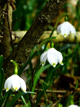 snowflake fruehlingsknotenblume spring