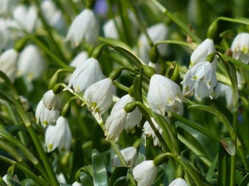 snowflake plant garden