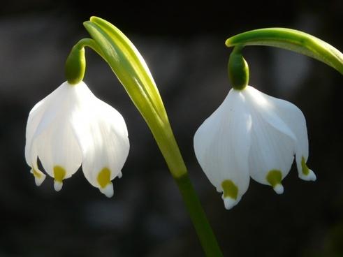 snowflake spring flower flower