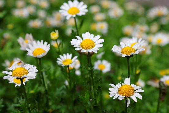 snowland daisy