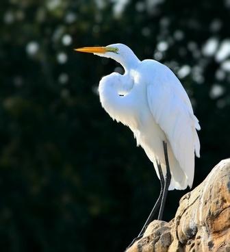 snowy egret bird waterfowl
