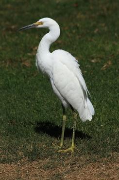 snowy egret on grass