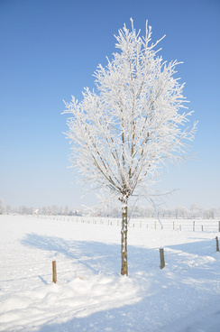snowy tree alone in wintertime