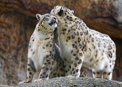 snuggling snow leopards