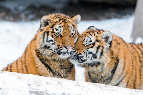 snuggling tiger cubs