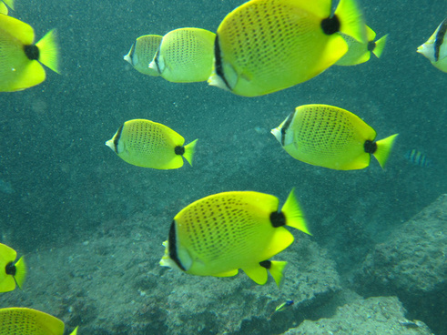 some sort of butterfly fish i think