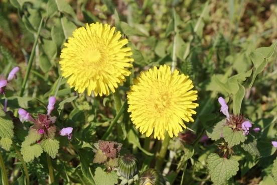 sonchus oleraceus weed medicinal plants