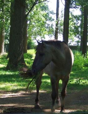 sorraia horse