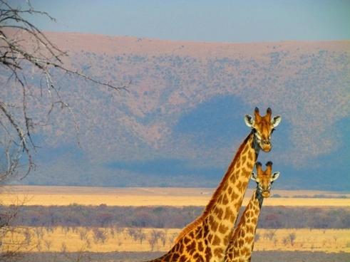south africa giraffe africa
