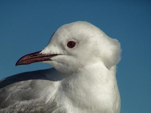 south african gull bird nature