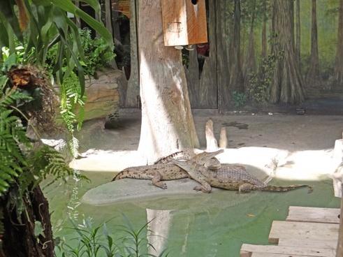 south american alligators