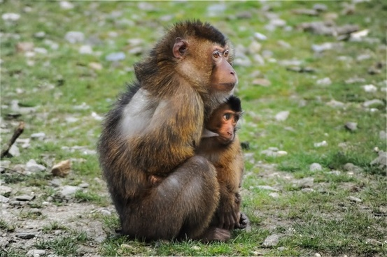 southern pig tailed macaque breastfeeding her child