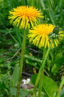 sow thistle in a grass