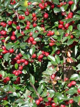 sparrige zwergmispel bush berries