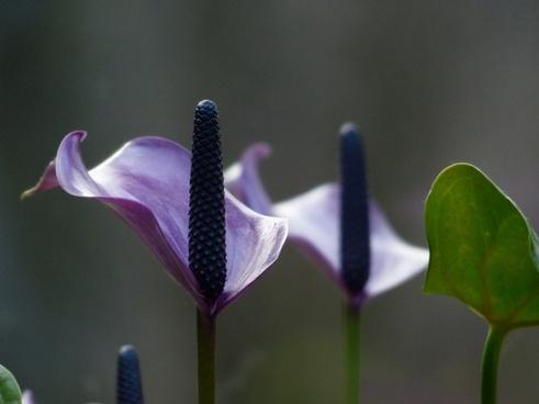 spathiphyllum vaginal sheet flower
