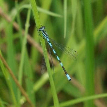 spear the girl dragon coenagrion hastulatum the dragonfly
