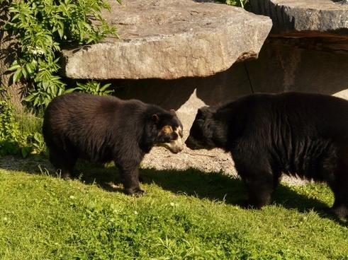 spectacled bear andean bear bear