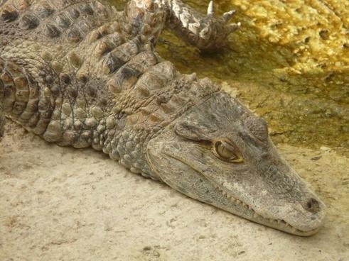 spectacled caiman crocodile yacare caiman