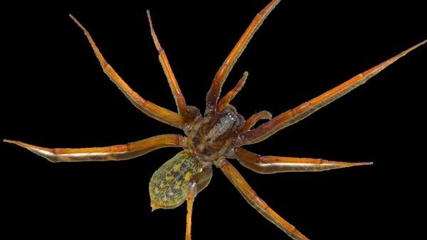 spider arachnids pets