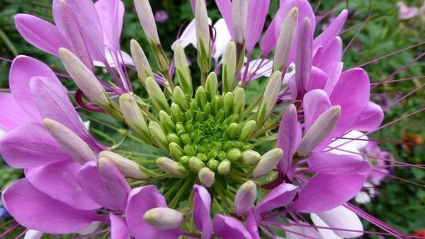 spider flower spider plant cleome spinosa