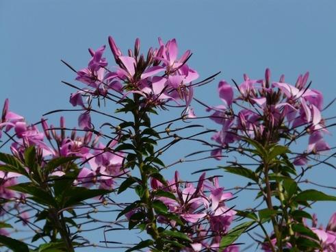spider flower spider plant flower