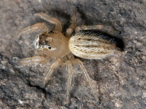 spider jumping spider thiodina puerpera