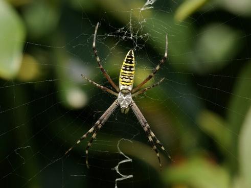 spider wasp spider zebraspinne
