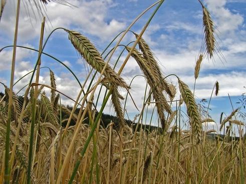 spike cereals grain